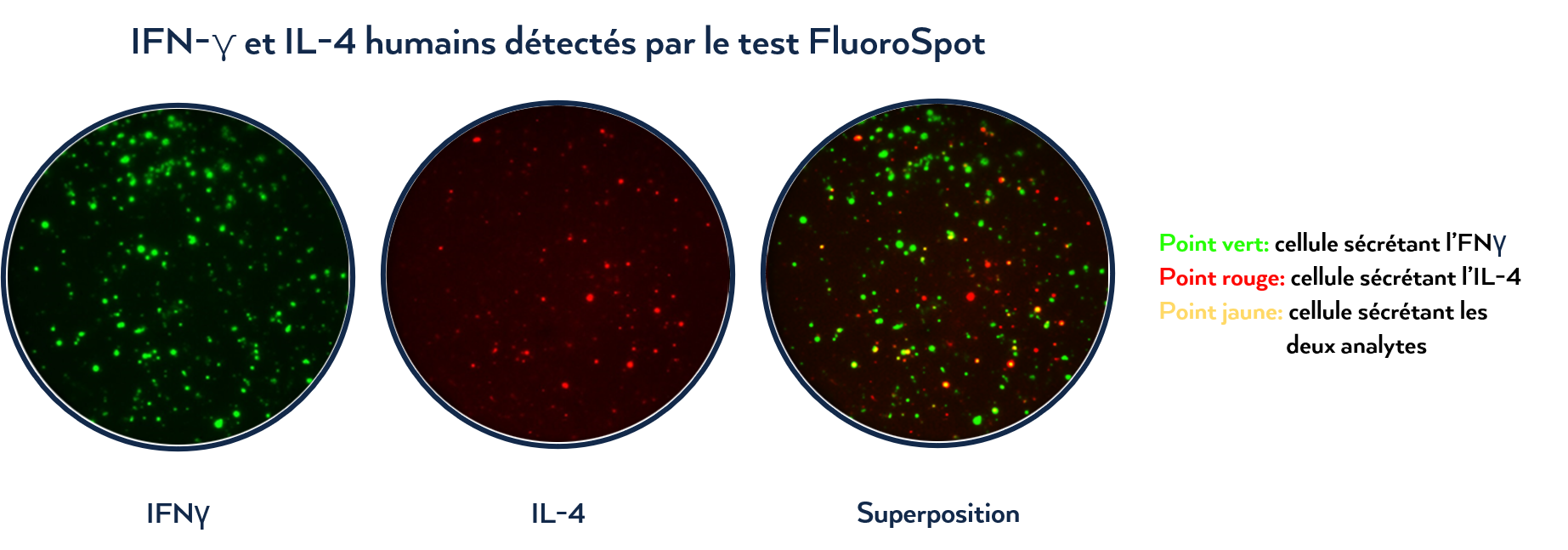 FluoroSpot IFNg and IL-4_FR